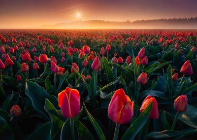 Perhaps a million pinkish-red tulips in a field.